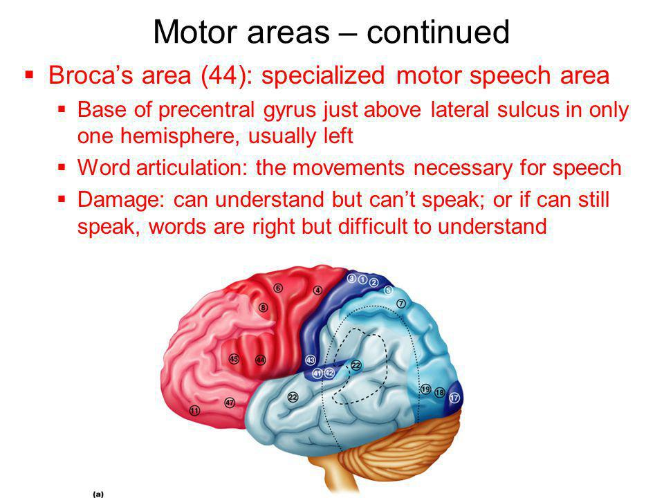 Motor areas – continued
