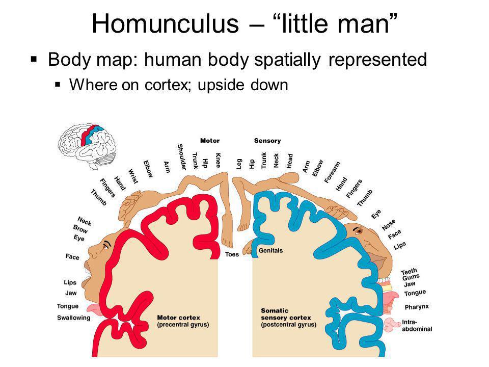 Homunculus – little man