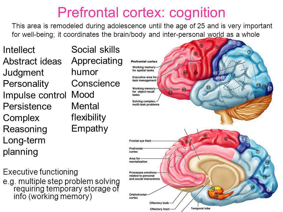 Prefrontal cortex: cognition