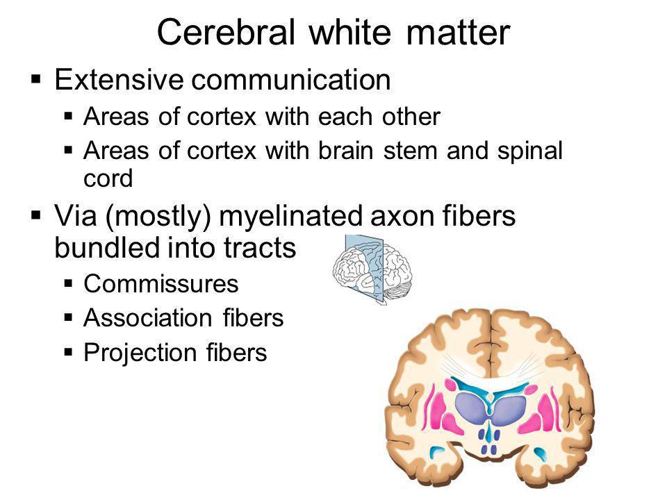 Cerebral white matter Extensive communication