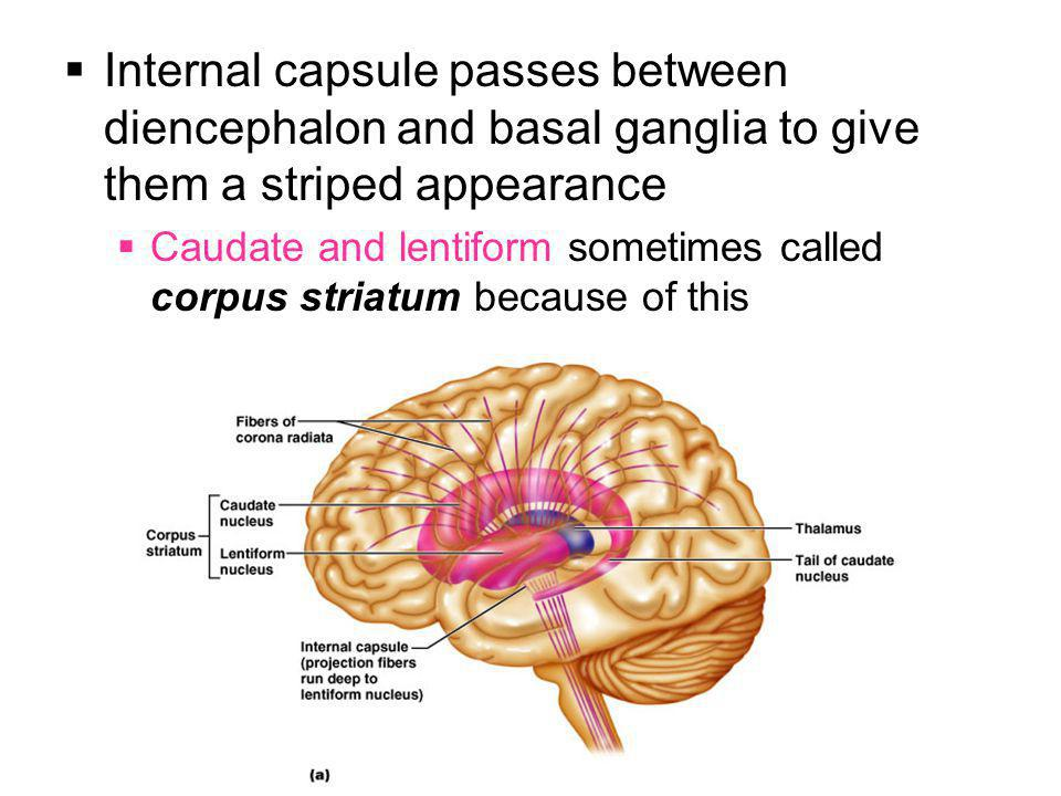 Internal capsule passes between diencephalon and basal ganglia to give them a striped appearance