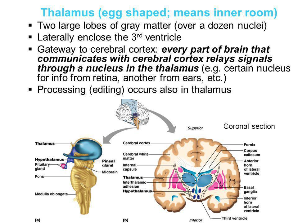 Thalamus (egg shaped; means inner room)