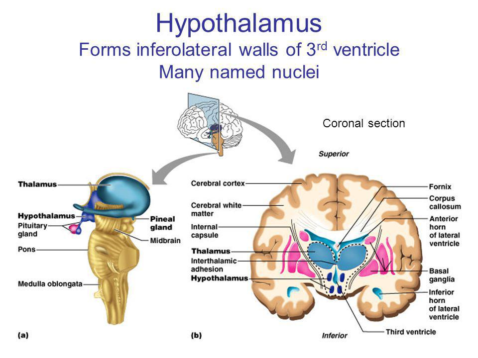 Hypothalamus Forms inferolateral walls of 3rd ventricle Many named nuclei