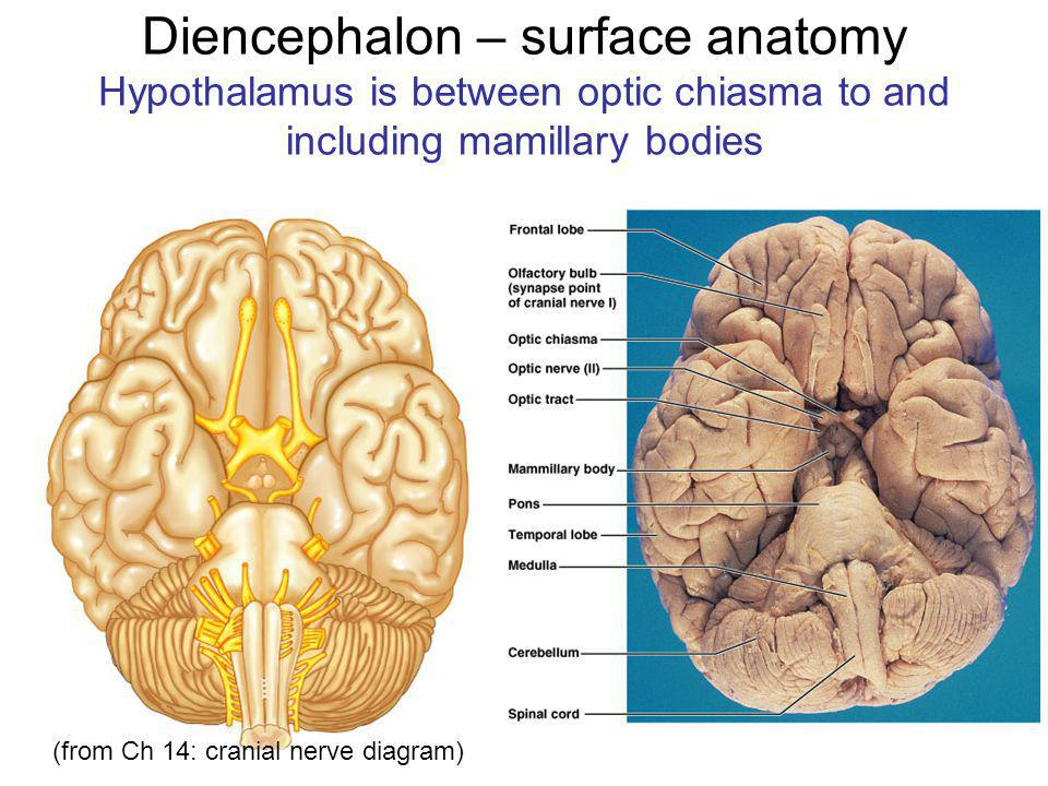Diencephalon – surface anatomy Hypothalamus is between optic chiasma to and including mamillary bodies