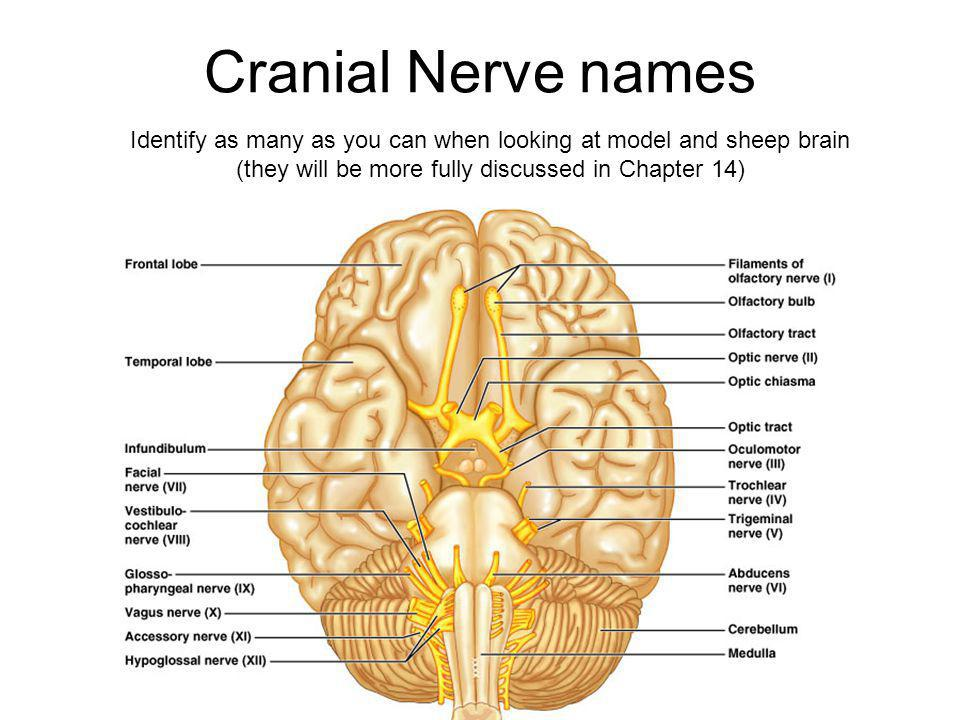 Cranial Nerve names Identify as many as you can when looking at model and sheep brain.