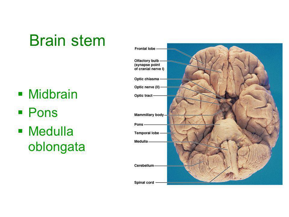 Brain stem Midbrain Pons Medulla oblongata