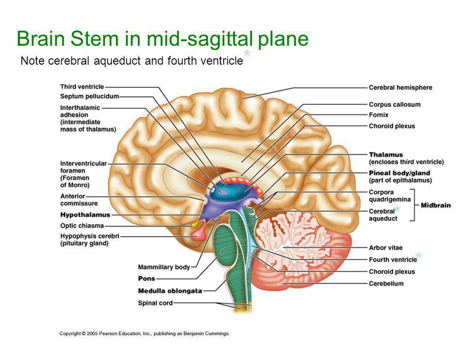 """Central Nervous System: """"CNS"""" - ppt download"""