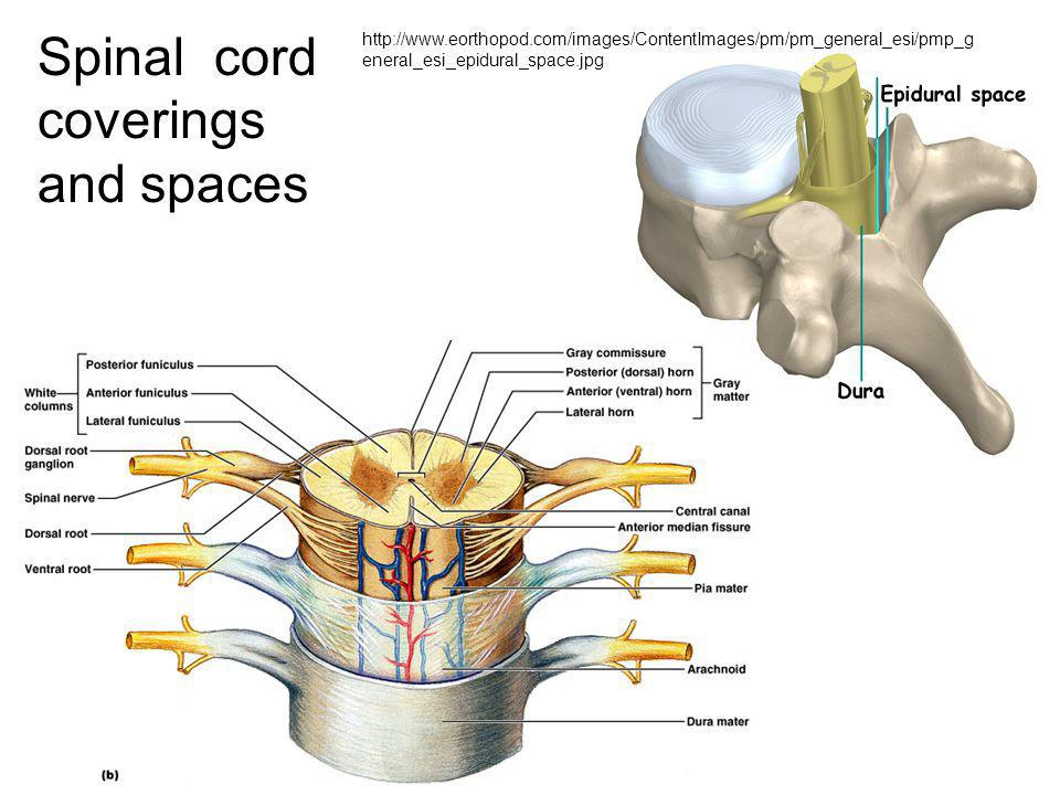 Spinal cord coverings and spaces