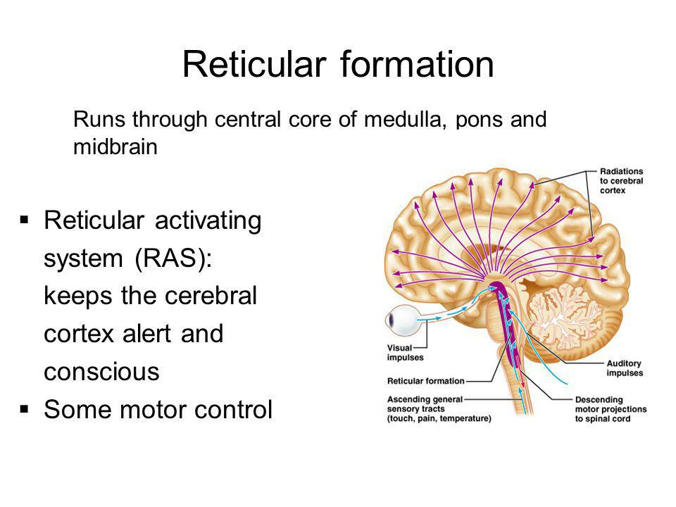 Reticular formation Reticular activating system (RAS):