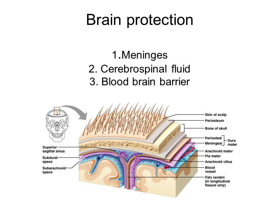 Brain protection 1. Meninges 2. Cerebrospinal fluid 3
