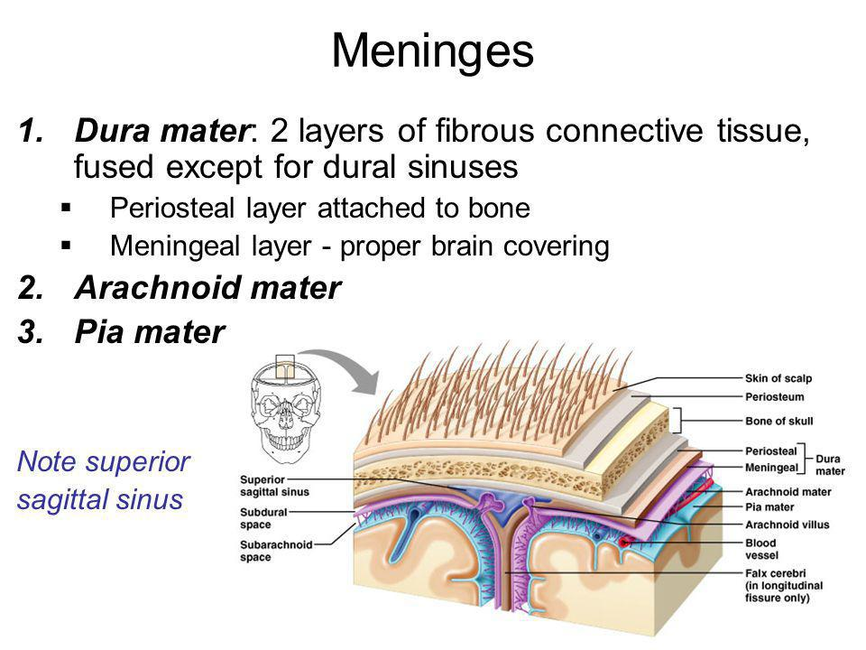 Meninges Dura mater: 2 layers of fibrous connective tissue, fused except for dural sinuses. Periosteal layer attached to bone.