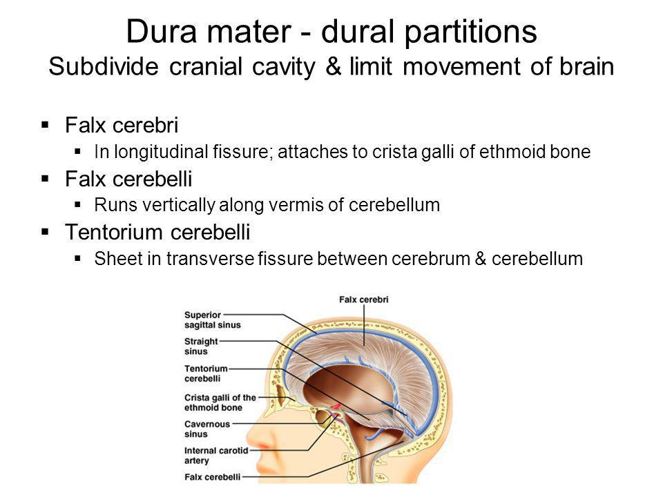 Dura mater - dural partitions Subdivide cranial cavity & limit movement of brain