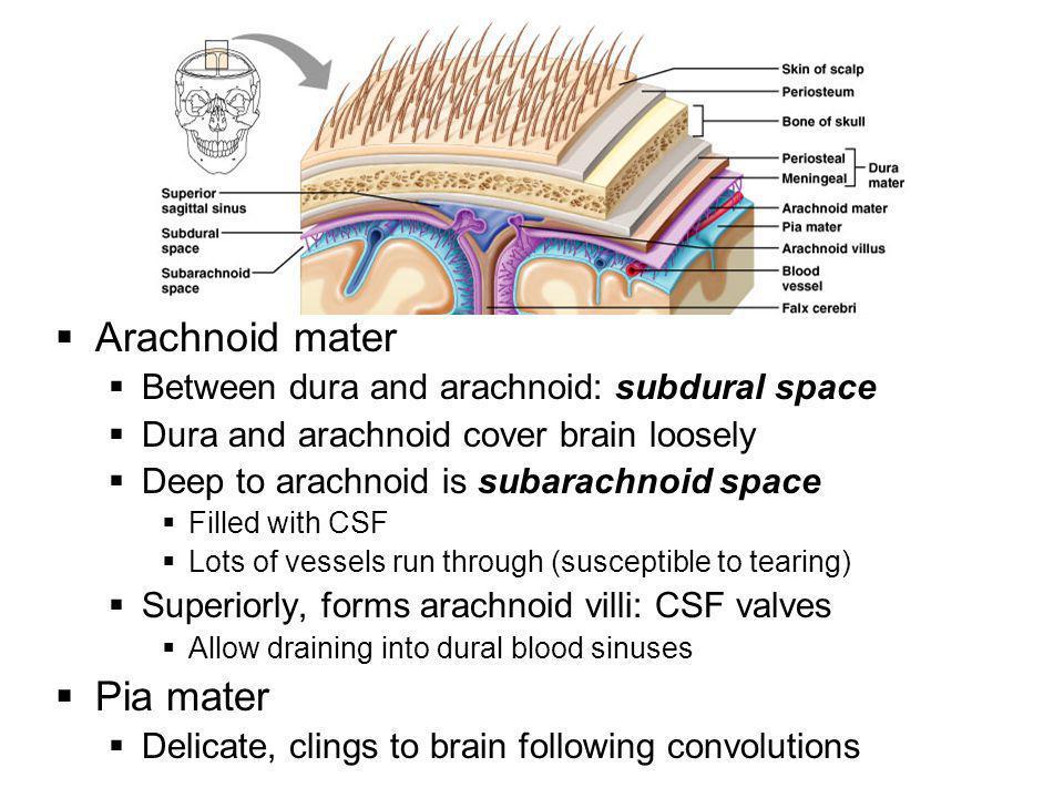 Arachnoid mater Pia mater Between dura and arachnoid: subdural space