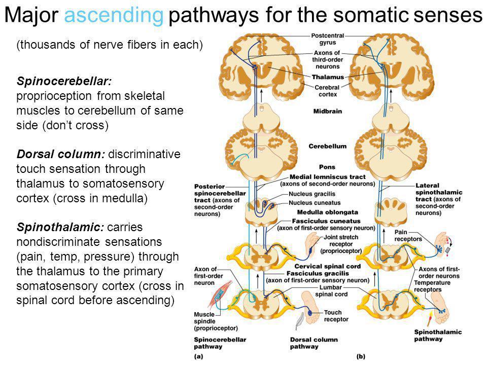 Major ascending pathways for the somatic senses