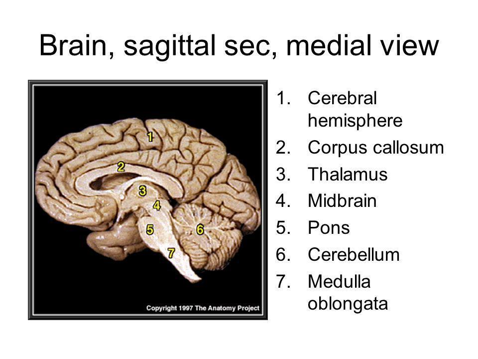 Brain, sagittal sec, medial view