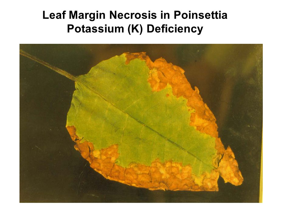 Leaf Margin Necrosis in Poinsettia Potassium (K) Deficiency