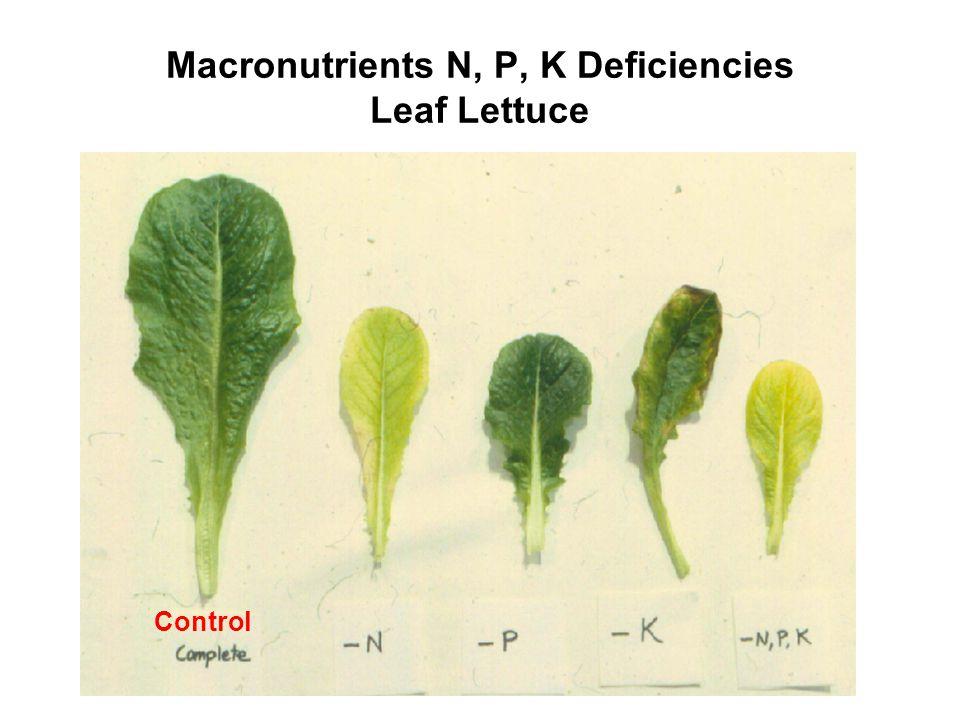Macronutrients N, P, K Deficiencies Leaf Lettuce