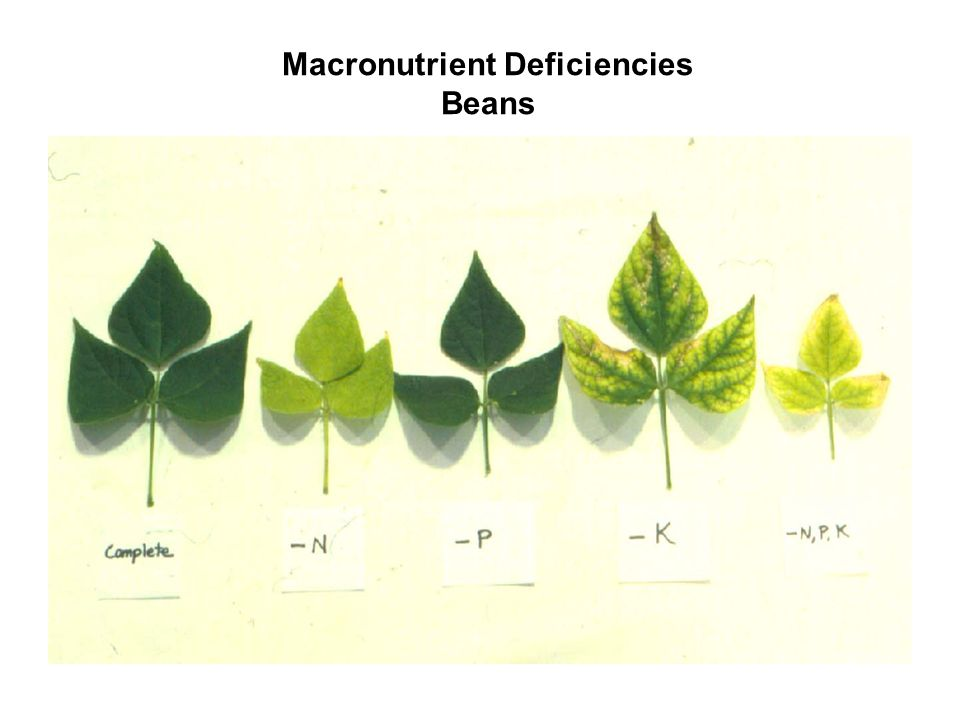Macronutrient Deficiencies Beans