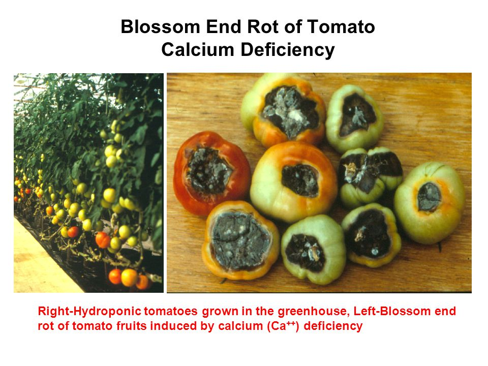 Blossom End Rot of Tomato Calcium Deficiency