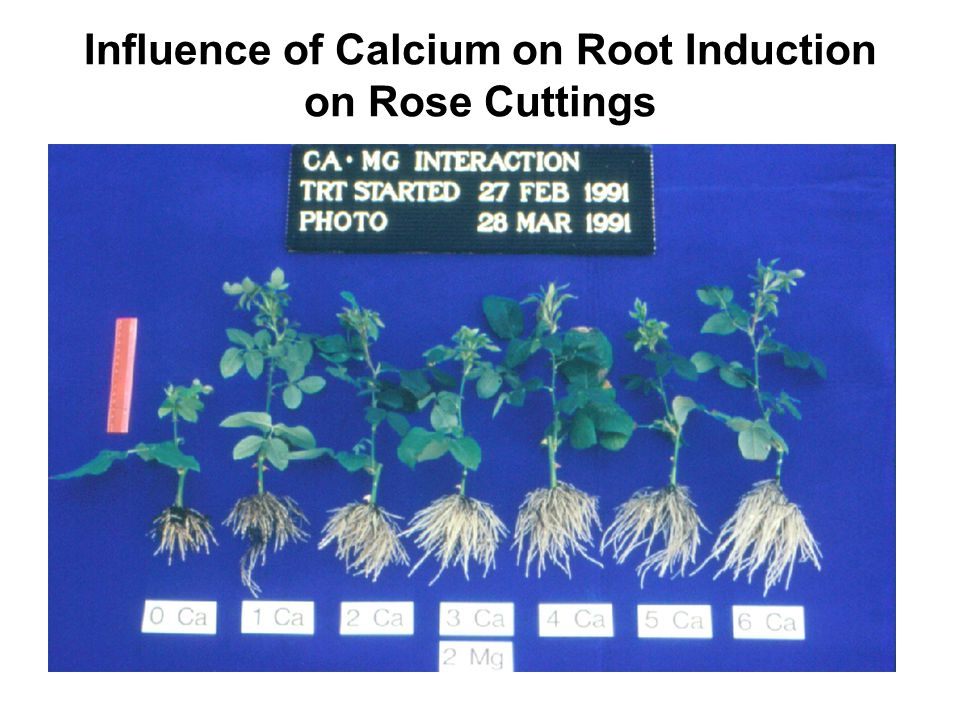 Influence of Calcium on Root Induction on Rose Cuttings
