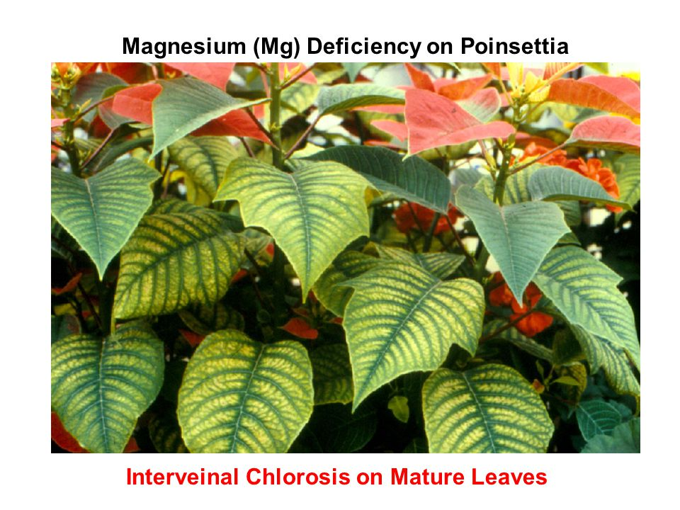 Magnesium (Mg) Deficiency on Poinsettia
