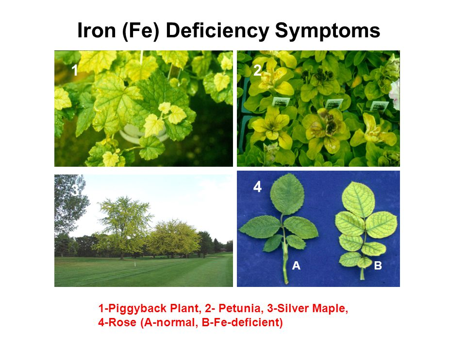 Iron (Fe) Deficiency Symptoms