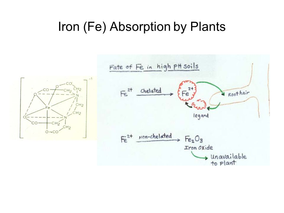 Iron (Fe) Absorption by Plants
