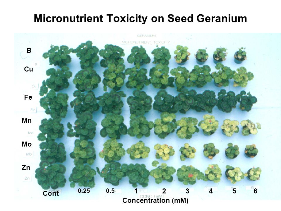 Micronutrient Toxicity on Seed Geranium