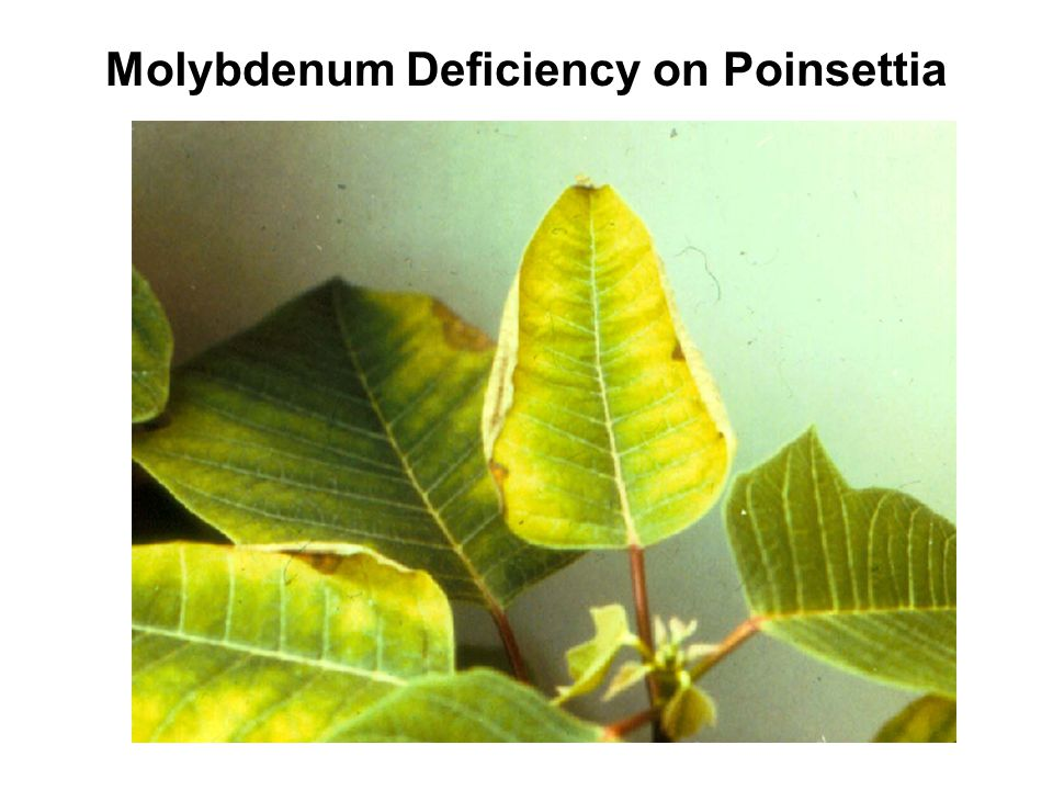 Molybdenum Deficiency on Poinsettia