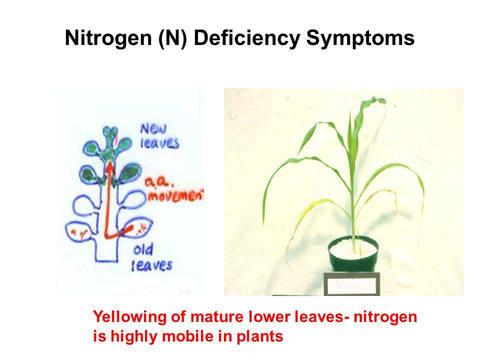 Nitrogen (N) Deficiency Symptoms
