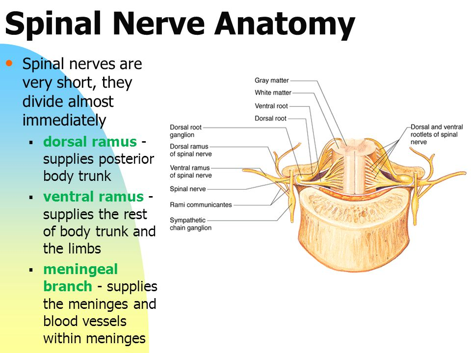 anatomy of spinal nerves pdf