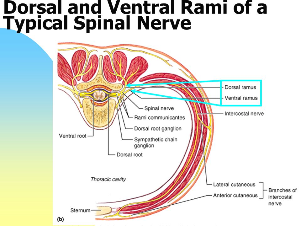 Dorsal and Ventral Rami of a Typical Spinal Nerve