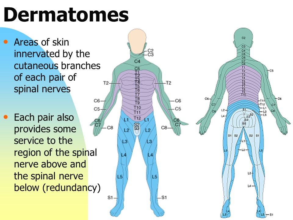Dermatomes Areas of skin innervated by the cutaneous branches of each pair of spinal nerves.