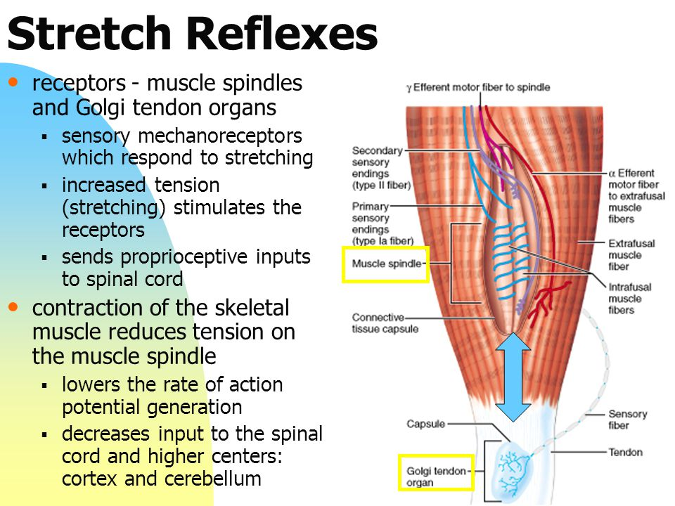 Stretch Reflexes receptors - muscle spindles and Golgi tendon organs