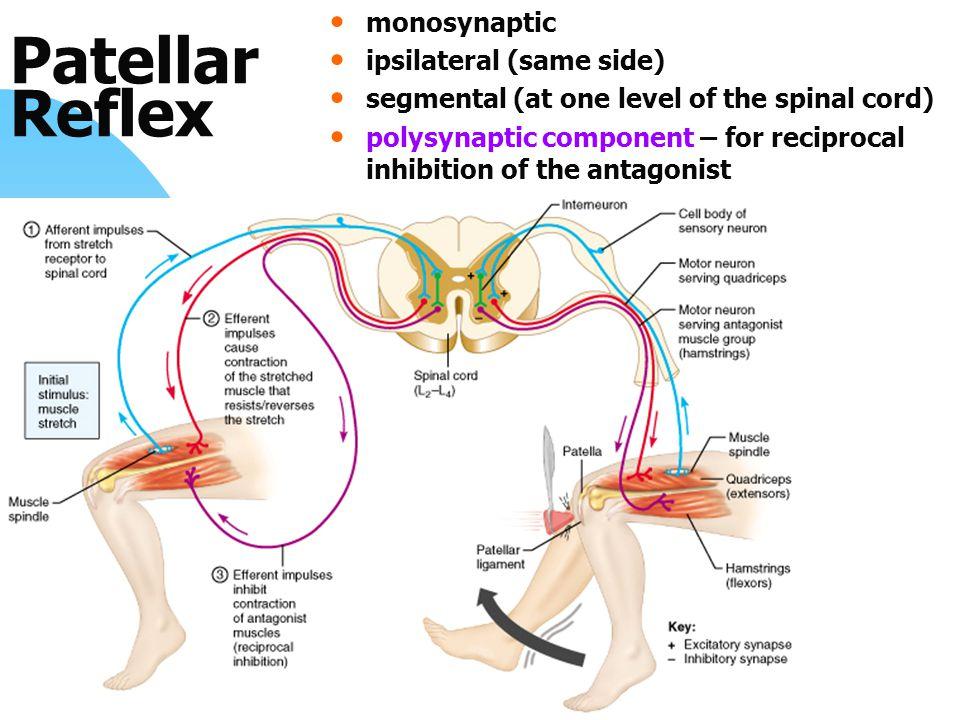 Patellar Reflex monosynaptic ipsilateral (same side)