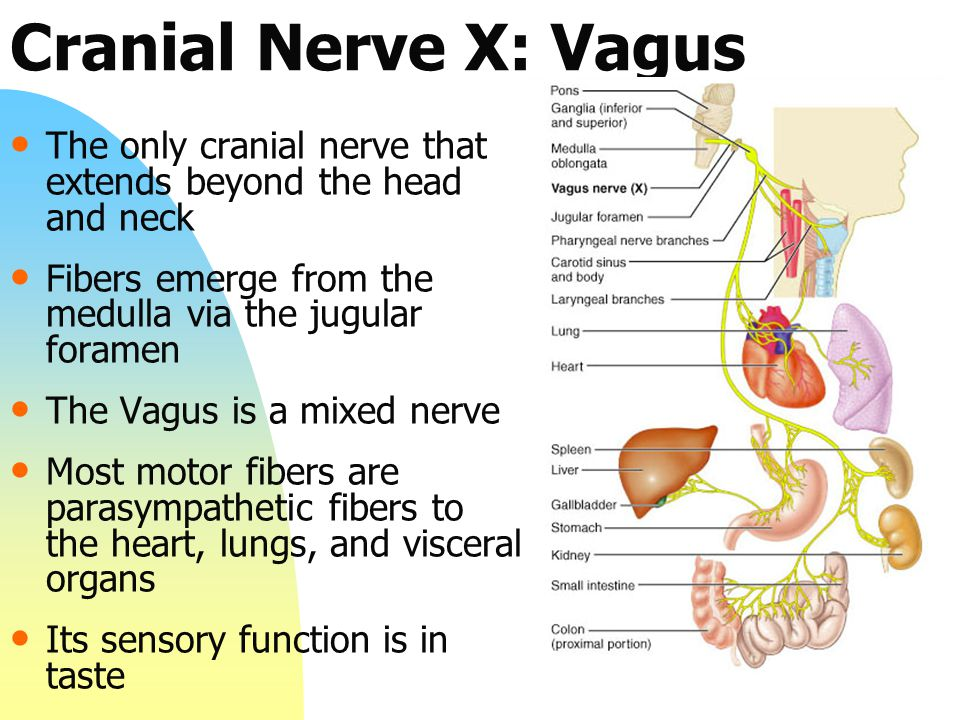 Cranial Nerve X: Vagus The only cranial nerve that extends beyond the head and neck. Fibers emerge from the medulla via the jugular foramen.