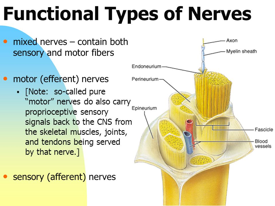 Functional Types of Nerves