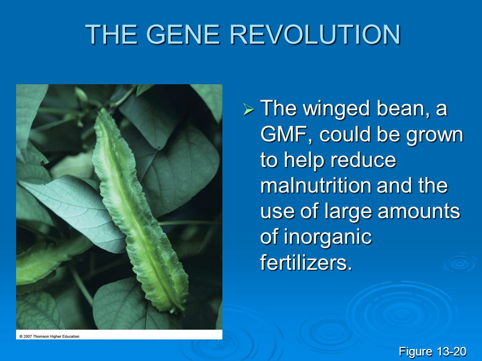 THE GENE REVOLUTION The winged bean, a GMF, could be grown to help reduce malnutrition and the use of large amounts of inorganic fertilizers.