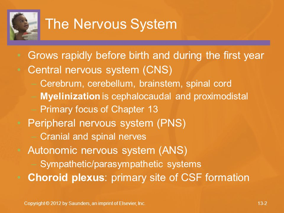 The Nervous System Grows rapidly before birth and during the first year. Central nervous system (CNS)