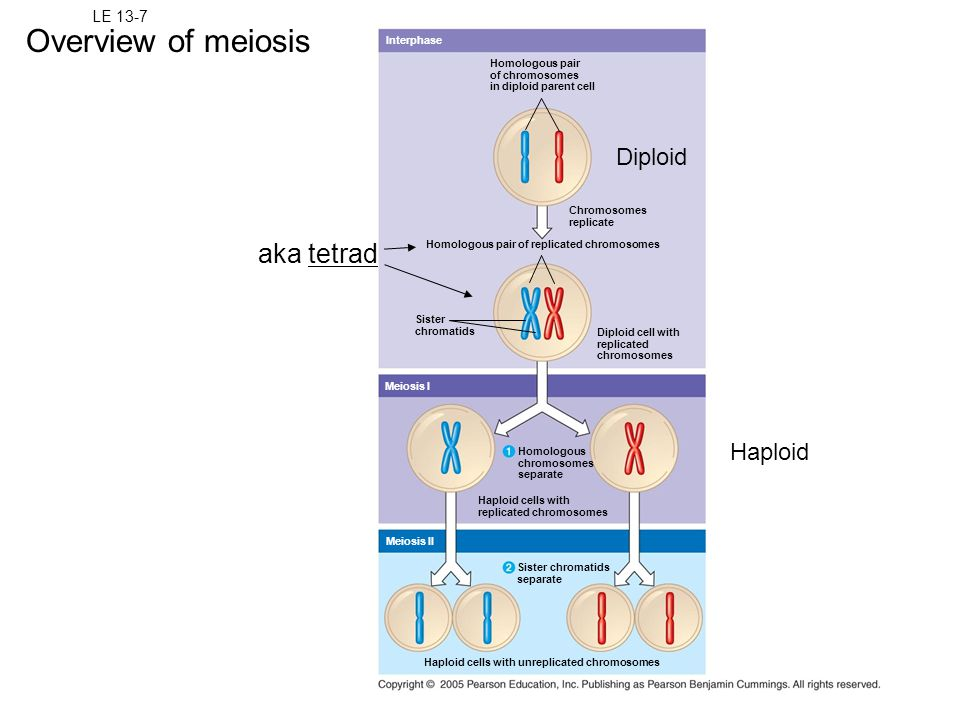 Overview of meiosis aka tetrad Diploid Haploid LE 13-7 Interphase