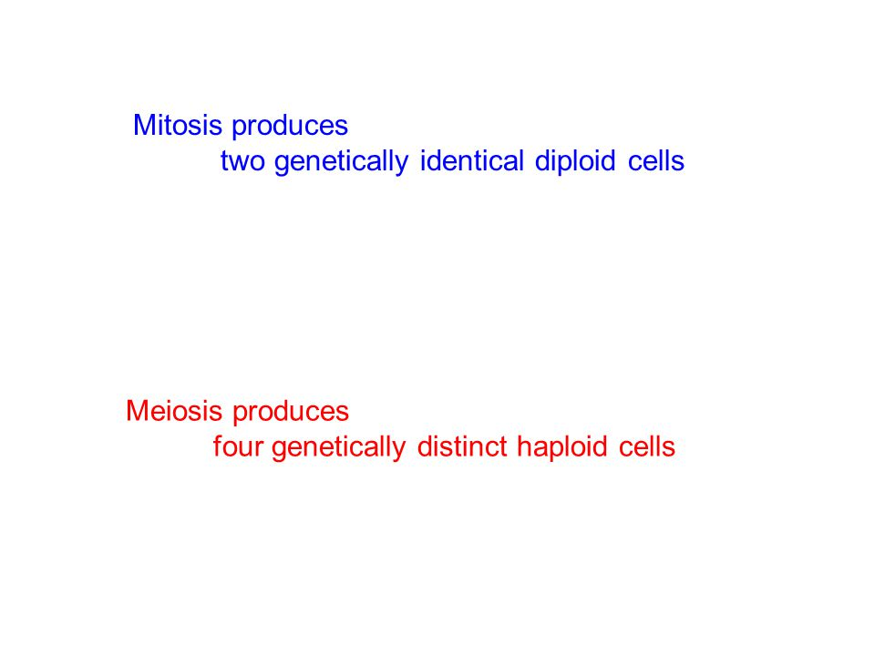 Mitosis produces two genetically identical diploid cells.