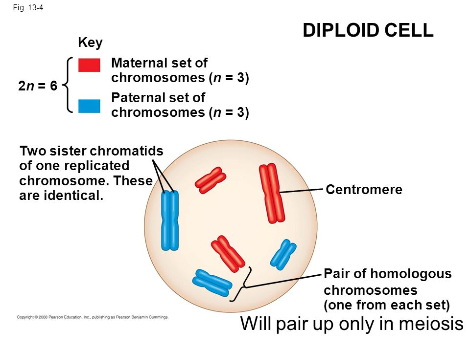 Will pair up only in meiosis