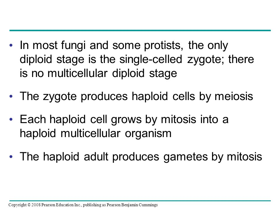 The zygote produces haploid cells by meiosis