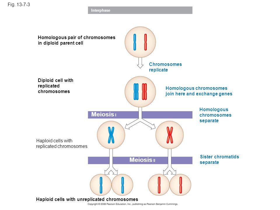 Meiosis I Meiosis II Fig. 13-7-3 Homologous pair of chromosomes