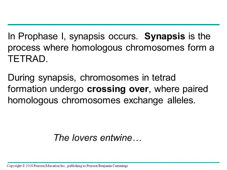 In Prophase I, synapsis occurs