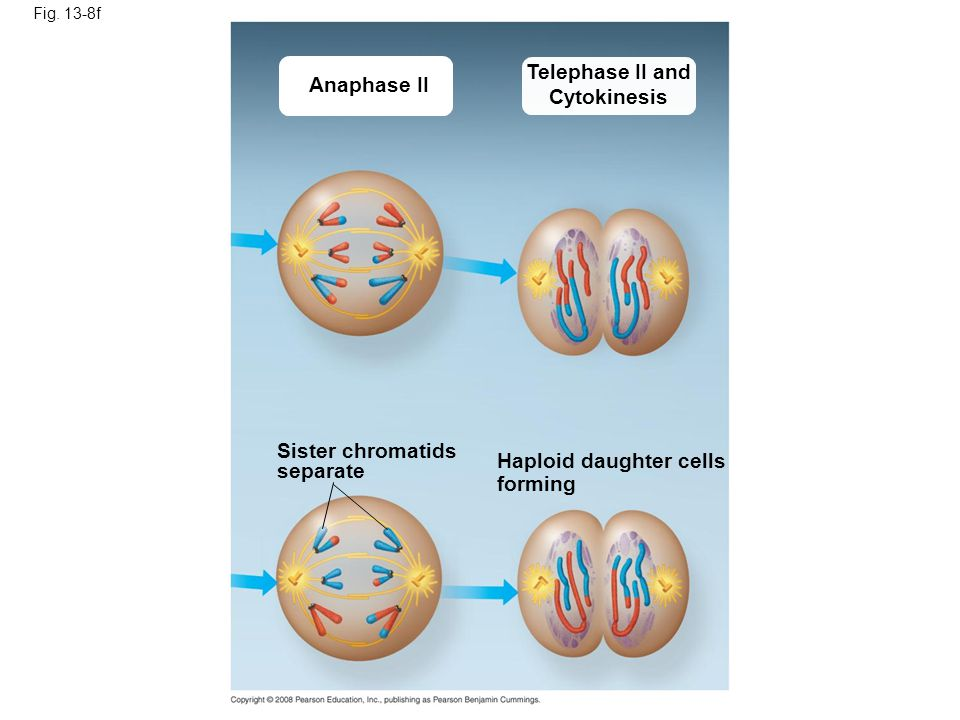 Telephase II and Cytokinesis