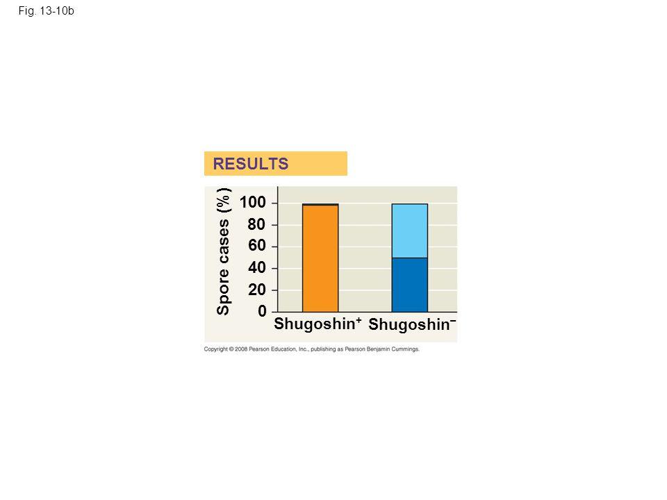 RESULTS 100 80 60 Spore cases (%) 40 20 Shugoshin+ Shugoshin–