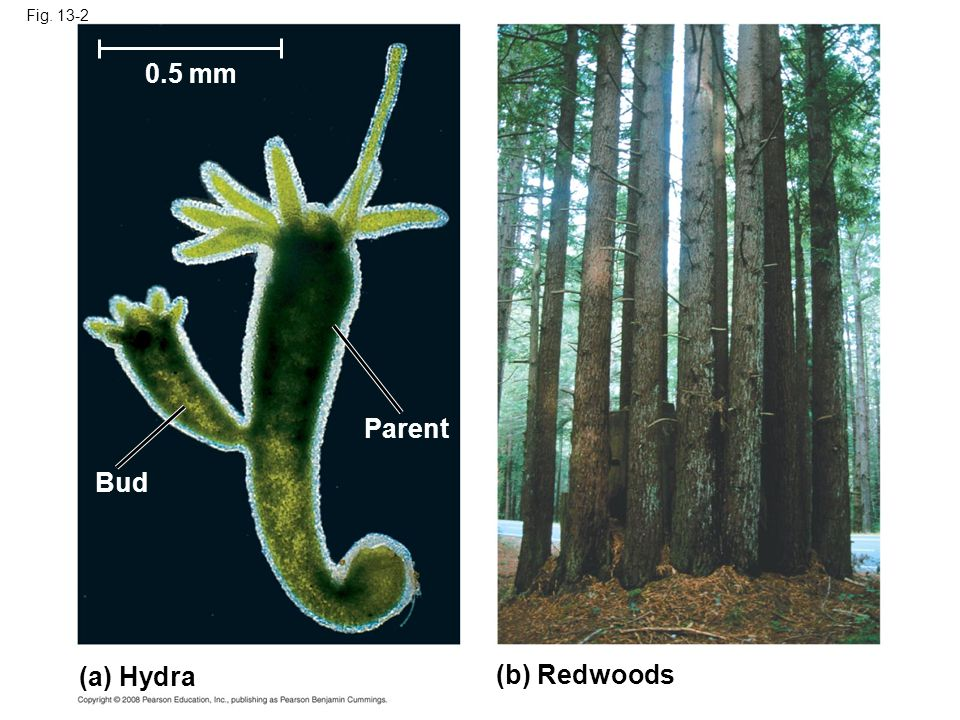 0.5 mm Parent Bud (a) Hydra (b) Redwoods Fig. 13-2
