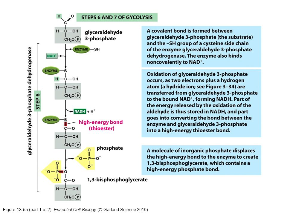 Figure 13-5a (part 1 of 2) Essential Cell Biology (© Garland Science 2010)