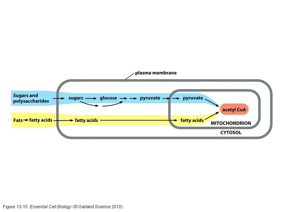 Figure 13-10 Essential Cell Biology (© Garland Science 2010)